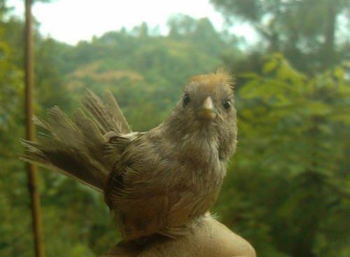 黄藤鸟怎样洗澡 怎么跟黄藤鸟洗澡