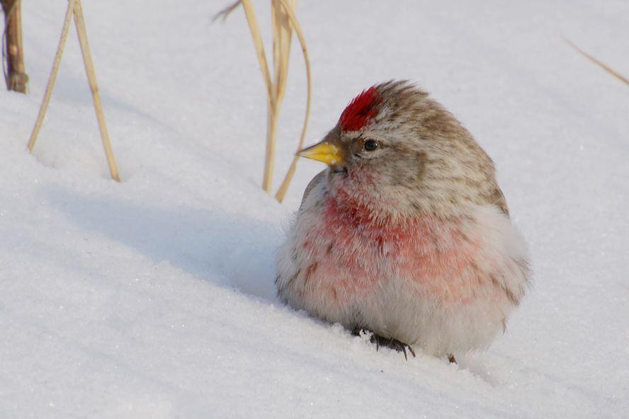 白腰朱顶雀冬天繁殖吗 白腰朱顶雀会不会在冬天繁殖