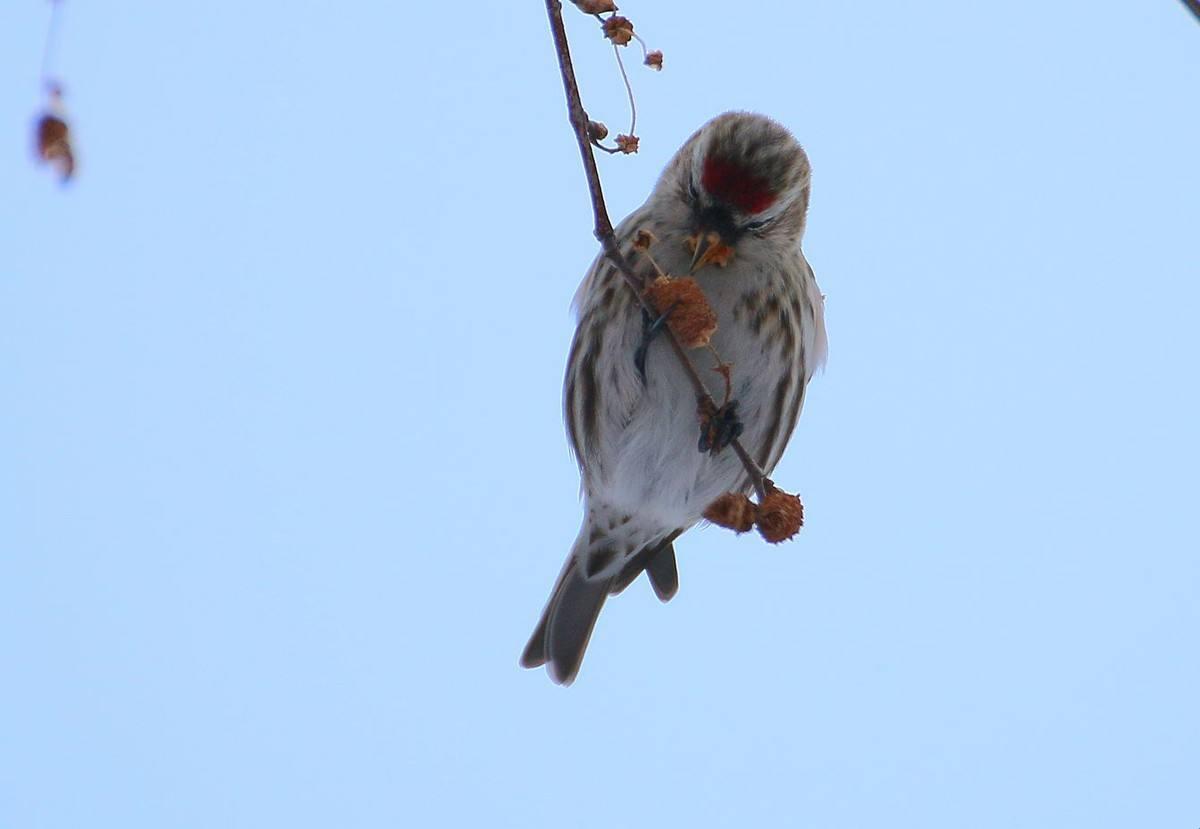 白腰朱顶雀吃什么水果 白腰朱顶雀喜欢吃什么水果