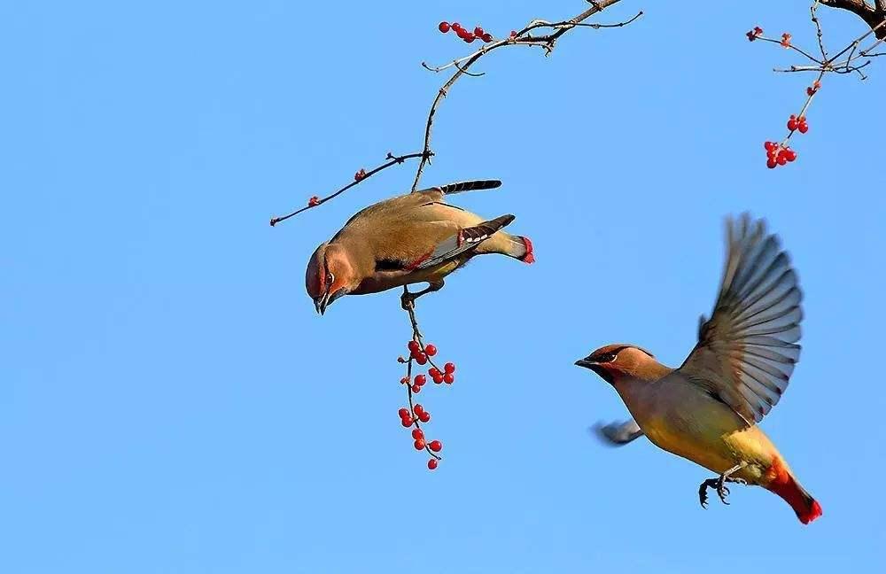 小太平鸟吃什么 小太平鸟喂什么