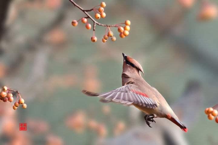 小太平鸟都吃什么 小太平鸟都吃什么为食