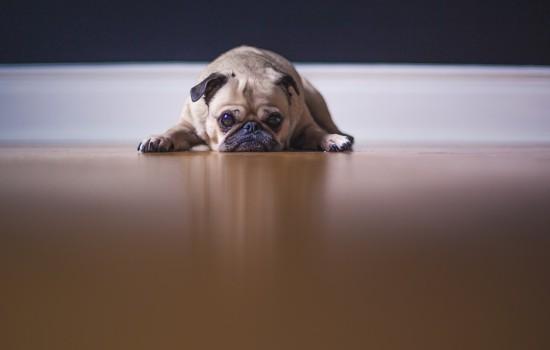 狗能够吃樱桃核吗 狗能吃樱桃核吗插图