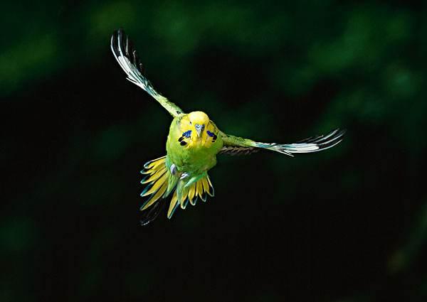 怎样让虎皮鹦鹉快速的认识新主人 怎样和鹦鹉快速建立感情
