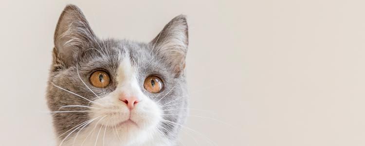 猫吃完就拉 猫吃完就拉正常吗