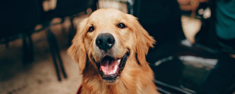 狗狗流清水鼻涕正常吗 狗狗流清水鼻涕怎么回事