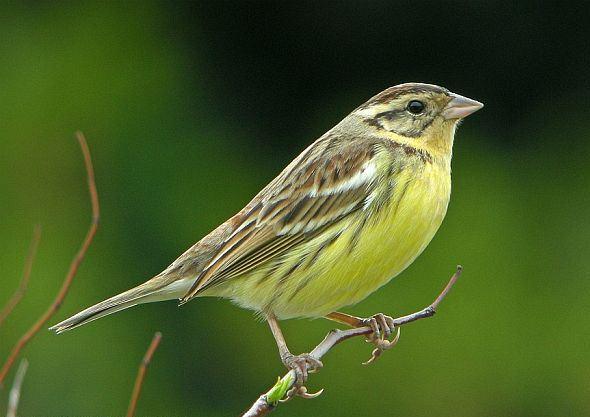 黄胸鹀指名亚种 属小型鸣禽