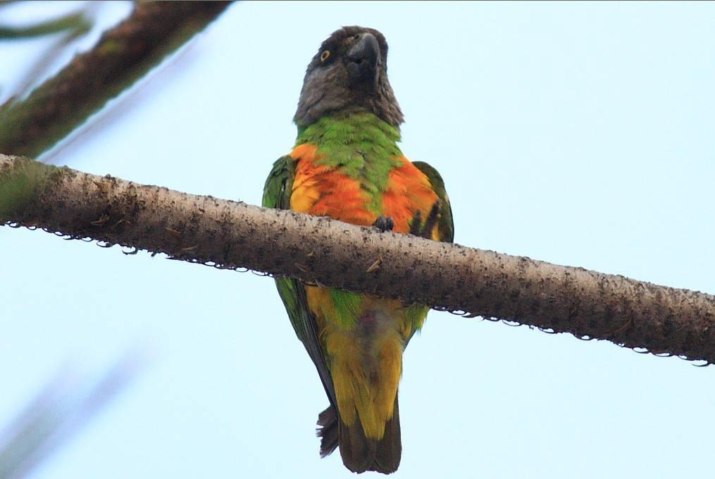 塞内加尔鹦鹉的优缺点 塞内加尔鹦鹉有啥缺点