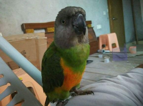 塞内加尔鹦鹉好养吗 塞内加尔鹦鹉好不好养