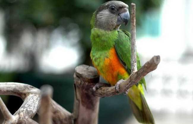 塞内加尔鹦鹉的饲养 饲养塞内加尔鹦鹉