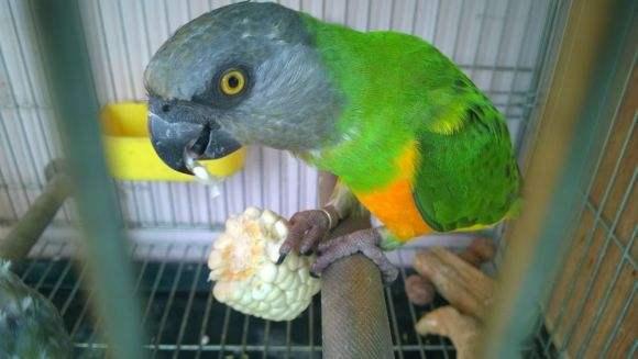 塞内加尔鹦鹉温顺吗 塞内加尔鹦鹉脾气好吗