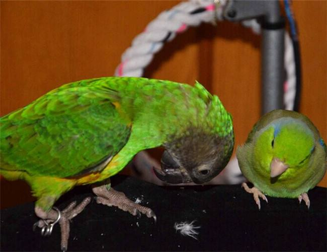 塞内加尔鹦鹉会不会说话 塞内加尔鹦鹉能说话吗
