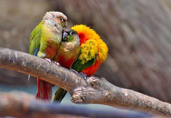 塞内加尔鹦鹉吃什么 塞内加尔鹦鹉吃什么为食