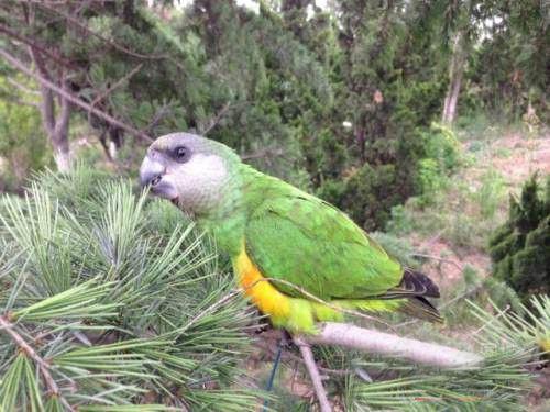 塞内加尔鹦鹉多久断奶 塞内加尔鹦鹉多大断奶