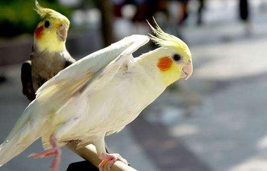鸡尾鹦鹉的繁殖 鸡尾鹦鹉什么时候繁殖