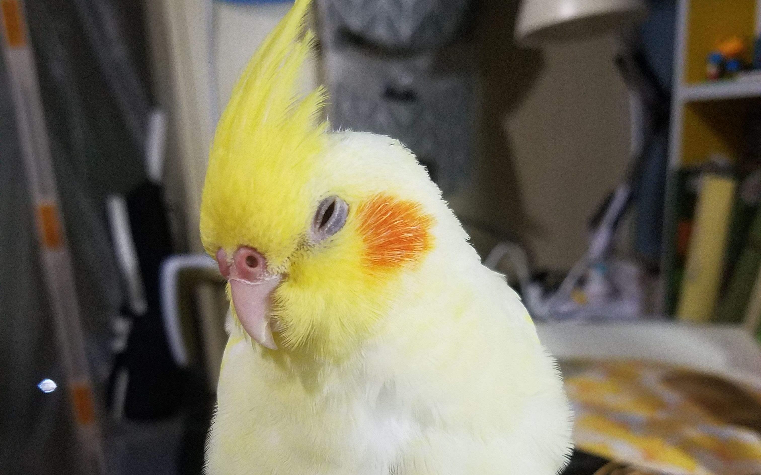 鸡尾鹦鹉寿命 鸡尾鹦鹉的寿命有多长