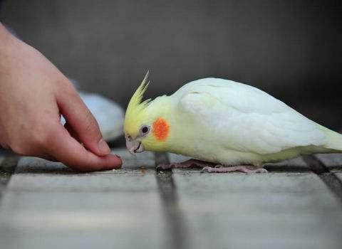 鸡尾鹦鹉是玄凤吗 鸡尾鹦鹉是玄凤鹦鹉吗
