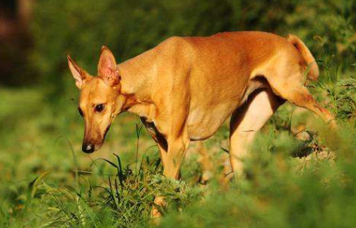 法老王猎犬一般多少钱一只 市场价格在3000~10000元