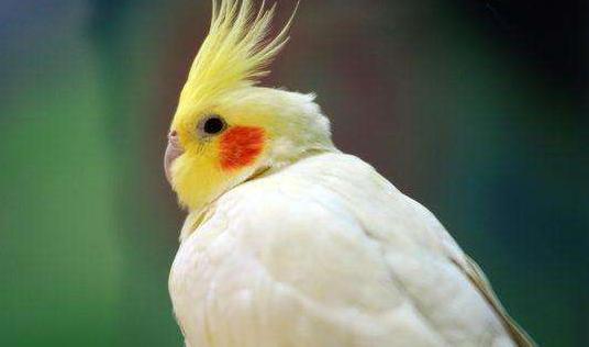 玄风鸡尾鹦鹉多少钱一只 玄风鹦鹉鸡尾鹦鹉多少钱一只