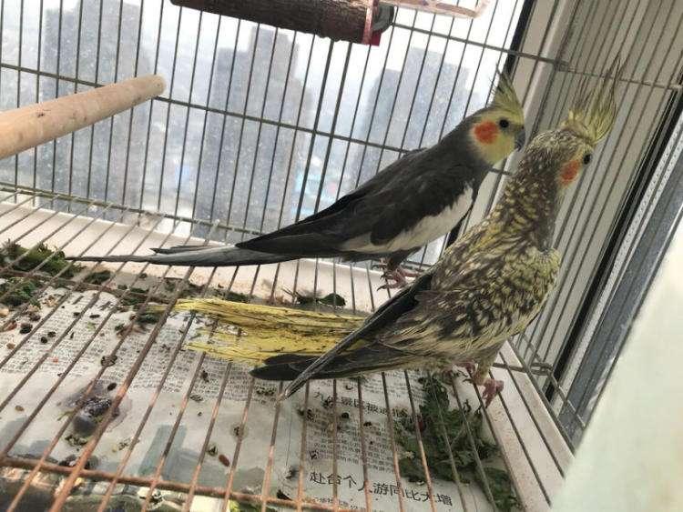 成年鸡尾鹦鹉的特征 成年鸡尾鹦鹉有什么特征