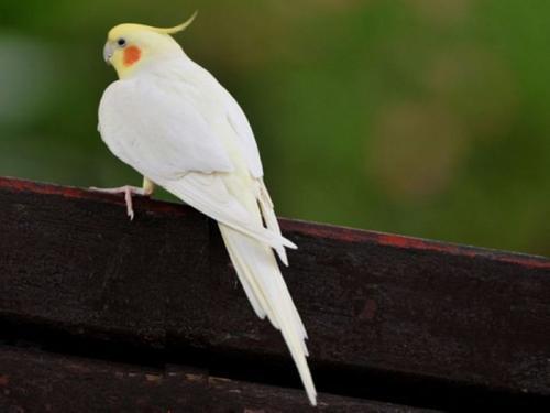 鸡尾鹦鹉怎么看多大了 鸡尾鹦鹉怎么看年龄