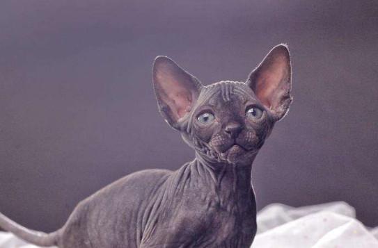 斯芬克司猫多少钱一只