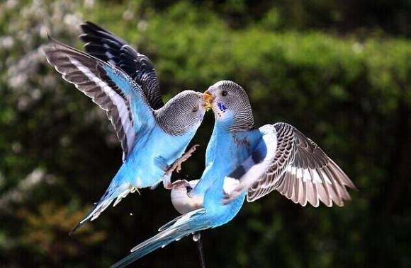 娇凤鸟怎么训练 娇凤鸟训练