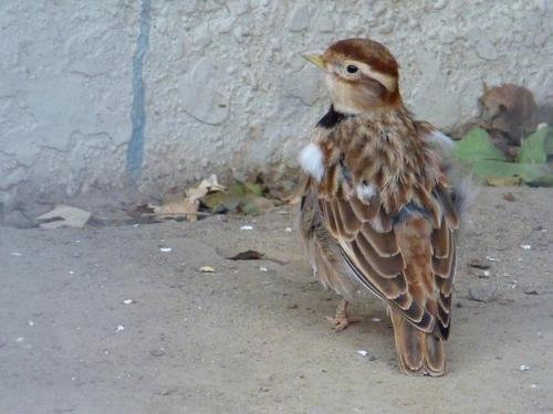 蒙古百灵鸟繁殖 蒙古百灵鸟繁殖方式