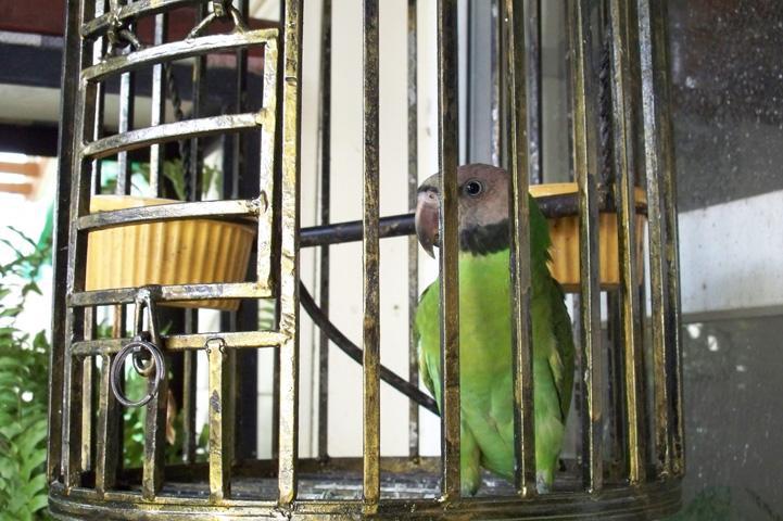 小绯胸鹦鹉体型 小绯胸鹦鹉有多大