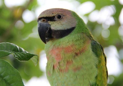 小绯胸鹦鹉公母怎么分 小绯胸怎么分公母
