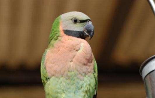 小绯胸鹦鹉说话清楚吗 小绯胸说话清楚吗