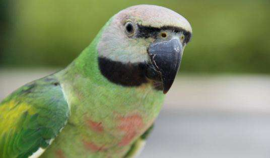 小绯胸鹦鹉缺点 小绯胸鹦鹉的缺点