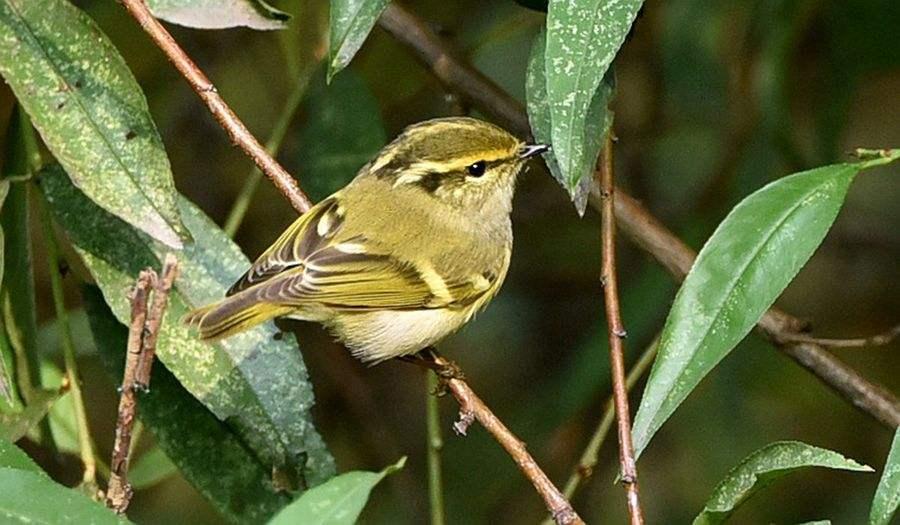 黄腰柳莺雌雄鉴别 黄腰柳莺区分公母