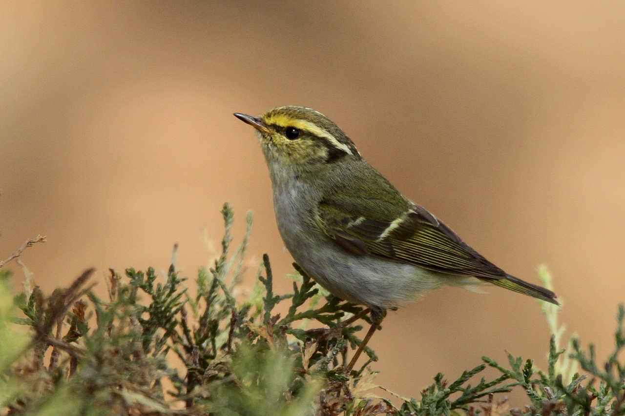 黄腰柳莺是保护动物么 黄腰柳莺是保护动物吗