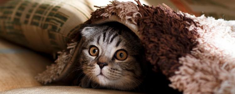 猫咪发情的表现 猫咪发情的表现形式