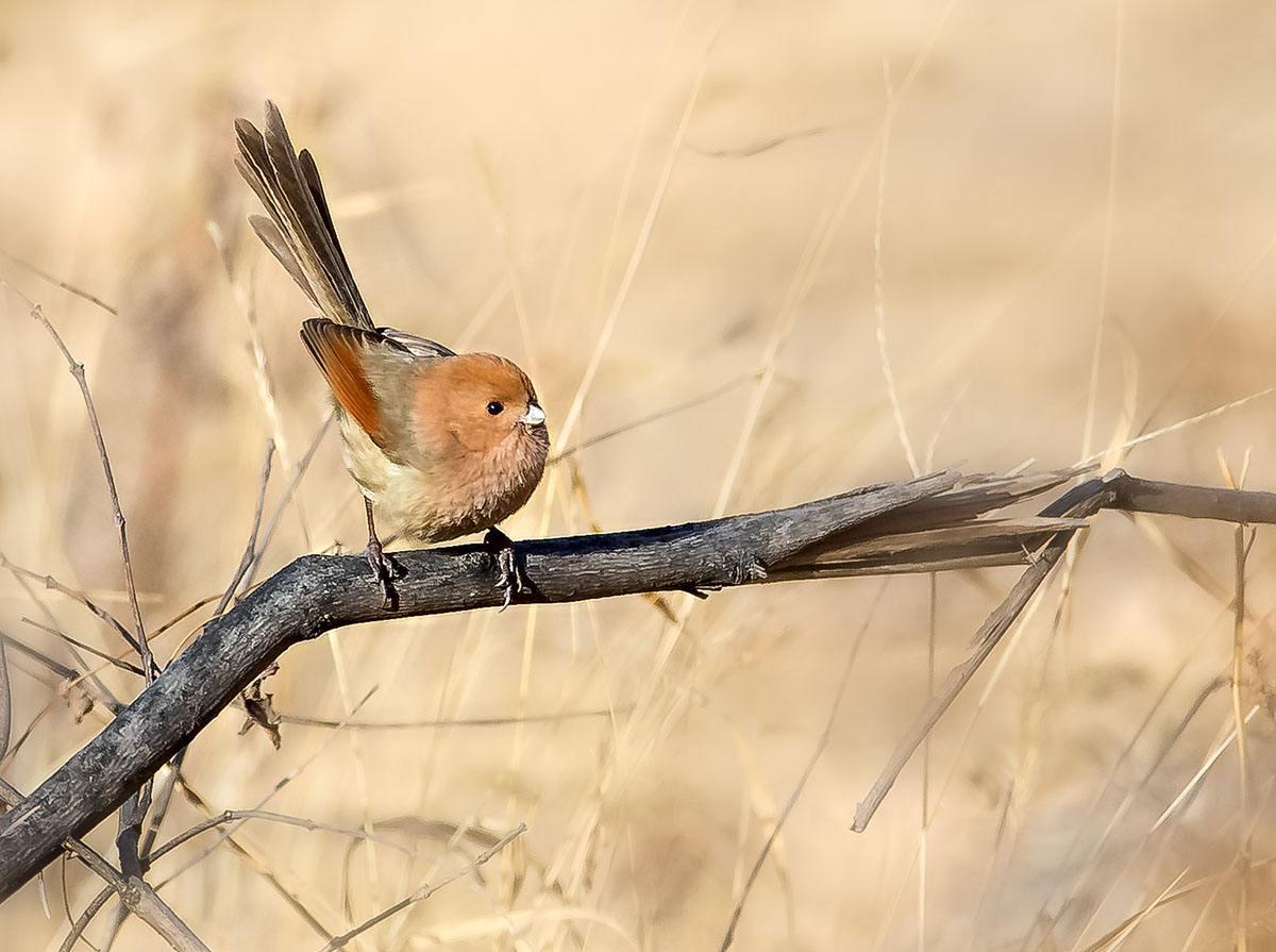 黄腾鸟的繁殖期 黄腾鸟几月繁殖