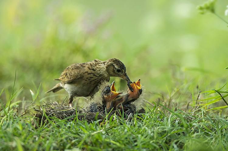 小沙百灵吃什么 小沙百灵吃什么食物