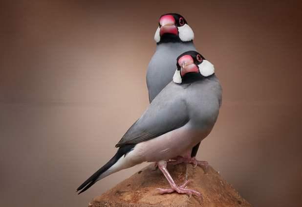 灰文鸟如何饲养 灰文鸟饲养