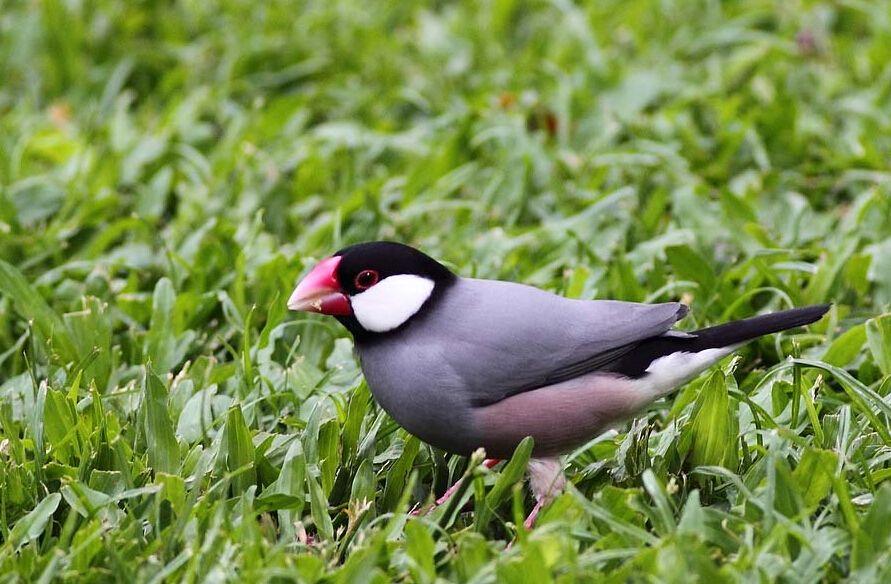 灰文鸟吵不吵 灰文鸟吵吗