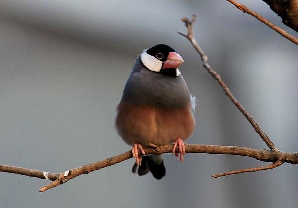 灰文鸟怕光吗 灰文鸟怕不怕光