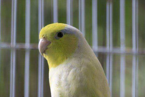 太平洋鹦鹉活多久 太平洋鹦鹉寿命有多长
