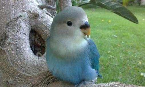 太平洋鹦鹉如何分公母 太平洋鹦鹉怎么分公母