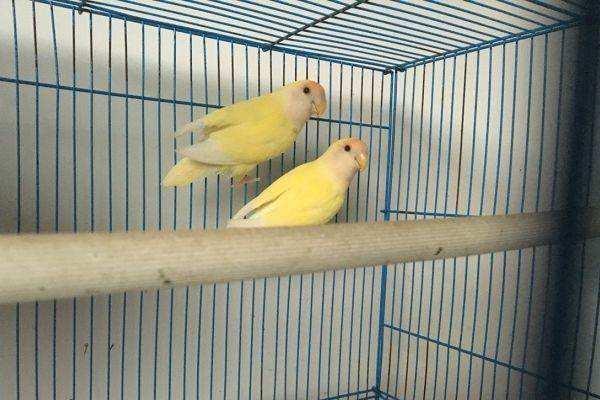 蓝太平洋鹦鹉的缺点 太平洋鹦鹉缺点