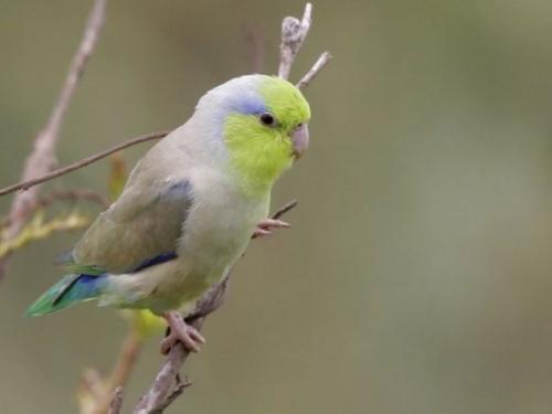 太平洋鹦鹉怎么样 太平洋鹦鹉好养吗
