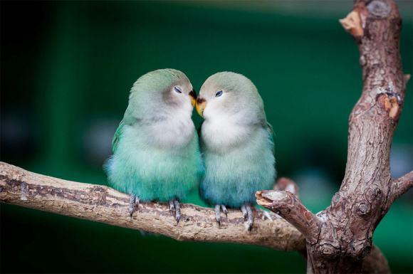 太平洋鹦鹉多少钱一只 太平洋鹦鹉以绿色为主