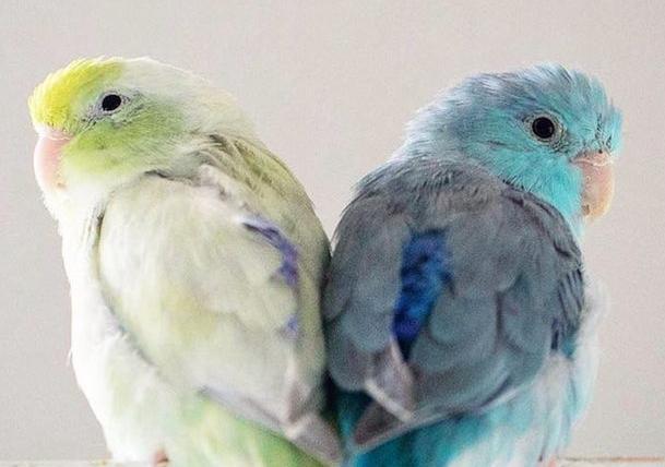 太平洋鹦鹉品种及价格 太平洋鹦鹉的品种及价格