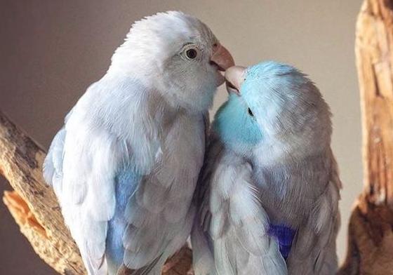 蓝太平洋鹦鹉能活几年 蓝太平洋鹦鹉能活多久