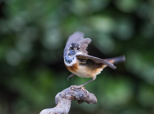 新蓝靛颏鸟怎么开食 蓝靛颏怎么开食