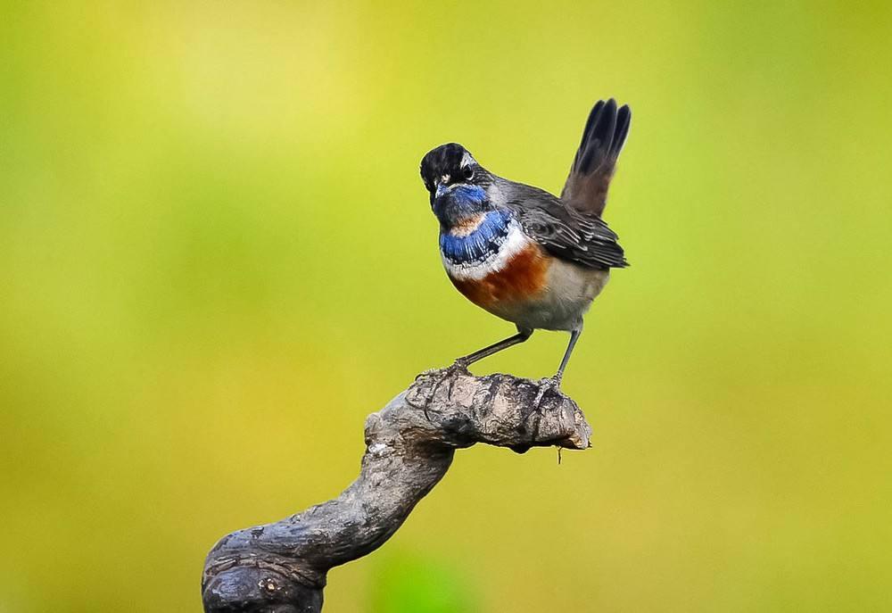 蓝点颏鸟价格 蓝点颏鸟价格多少