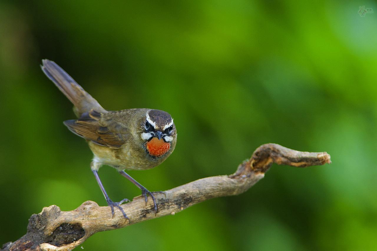 红靛颏鸟价格 红靛颏鸟价格多少