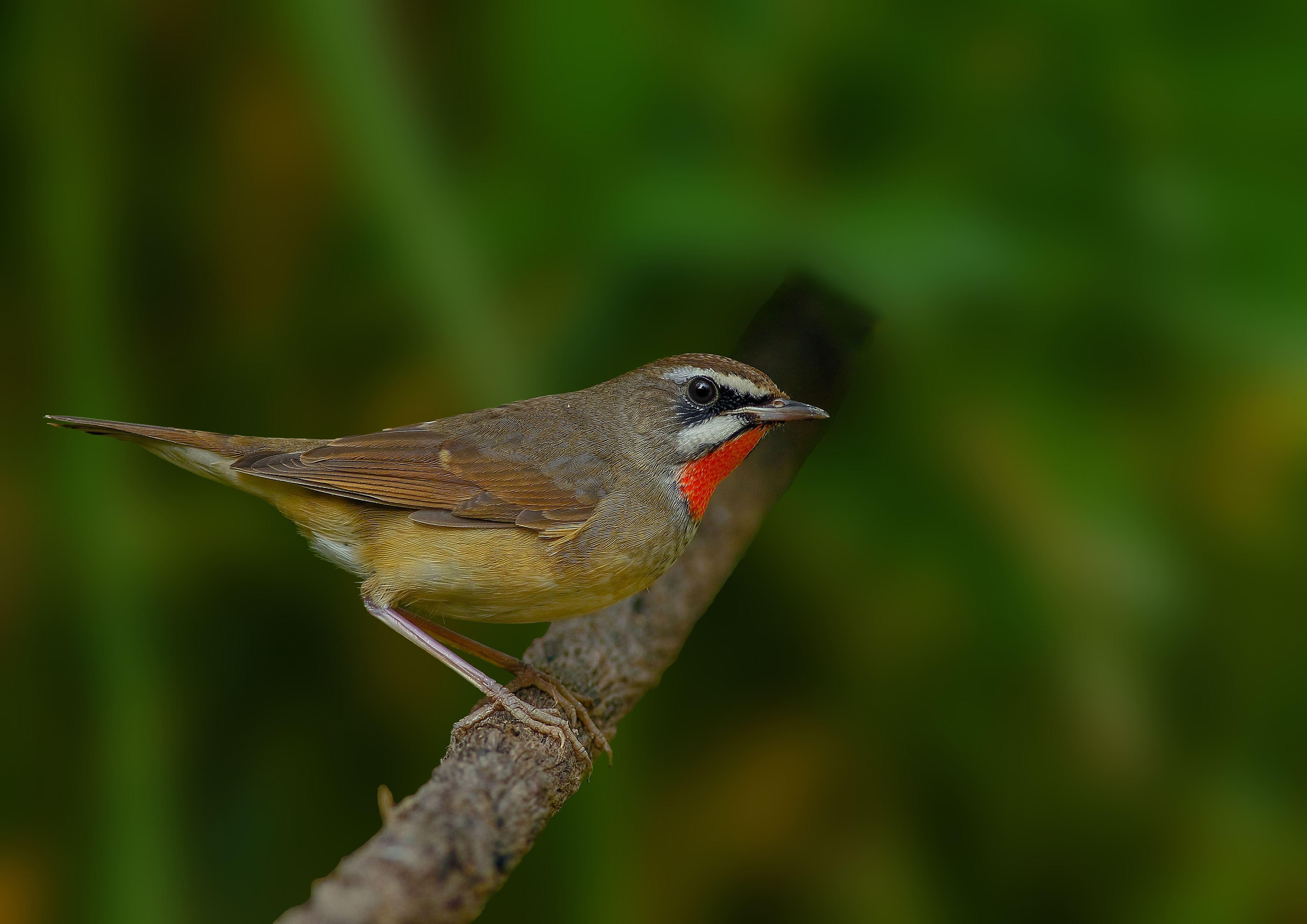 红靛颏鸟吃蔬菜吗 红靛颏鸟吃不吃蔬菜